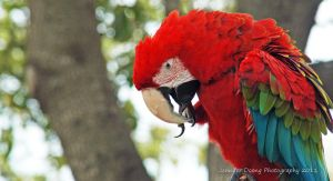 Green-winged Macaw 7 by MorrighanGW