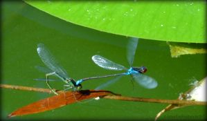 Damselflies' Attractive Love Dance by Cloudwhisperer67