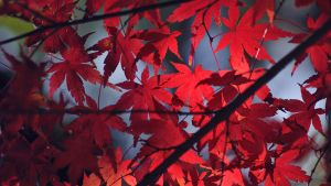 Japanese Maple Leaf WP 2009 by WindyLife