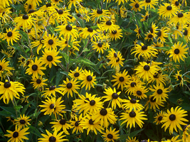 More Rudbeckia Hirta by whatsername57