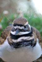 Content Killdeer by meihua