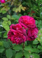 June Roses by Forestina-Fotos
