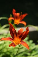 Red Lillies by KCJoughDoitch