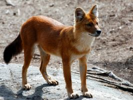 Dhole 5 by Exthree-photo