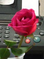 rose a fax by crazygardener