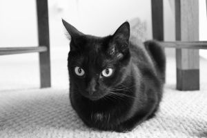 black cat in black and white by bobbyfufu
