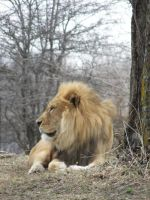 King of the Jungle by serafic-Helion-stock