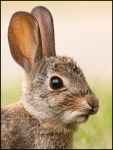 Rabbit by kootenayphotos