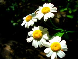 Daisies by Layit