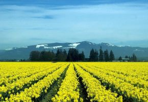 Field of Gold - Daffodils I by Photos-By-Michelle