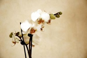 orchid by swestberg