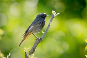 Black Redstart by rat-or-rat