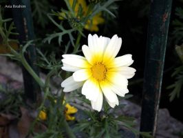 White and Yellow by asiaibr