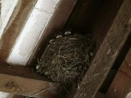 baby swallows by harrietbaxter