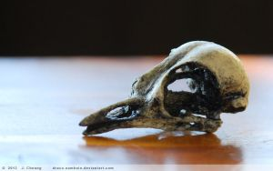 Cast resin robin skull by arcticphoenixstudios
