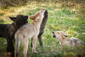 wolf pup rally by patsubmann
