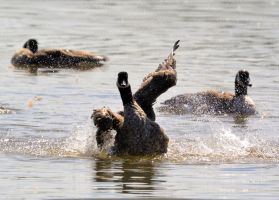 Geese in Water by Noble-Kenshi