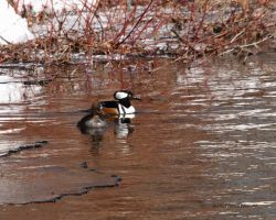 Hooded Merganser Pair 2011 by natureguy