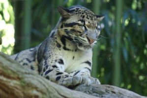 Clouded Leopard by MicWits101