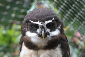 Spectacled Owl 1 by Skarkdahn