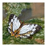 Butterfly 139 (Common Mapwing) by kiew1