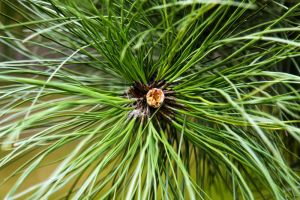 nature 0100 pine tree by remigiuszScout