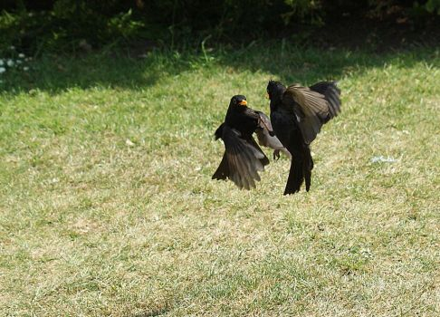 Blackbirds Fighting by Bazz-photography