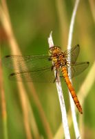 Dragonfly by loopylass14uk