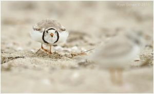 Piping Plover Charge by Ryser915