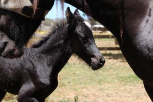 Introducing Quest's foal - Rembrandt fan Raven's by Sarah-Vafidis