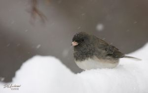 Snow storm Junco by DGAnder