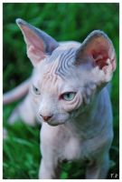 Little sphynx by fabuli
