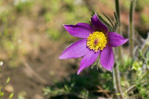 Pasque flower by sztewe