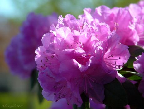 Rhododendron by jewels4665