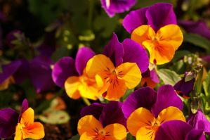Pansy VII by expression-stock