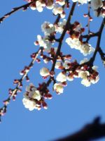 Apricot blossom by Yeelka-Stock