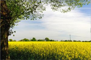 Rapeseed-Country by 51ststate