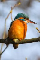 Kingfisher by Daniel-Wales-Images