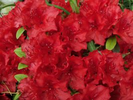 Red flower explosion by Mecarion