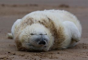 Sleeping Seal by fraughtuk