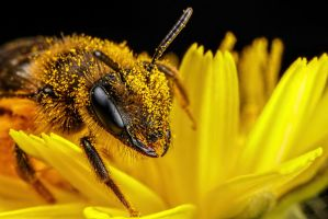 Solitary Bee on a Dandelion III by dalantech