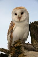 Barn Owl Perch by cycoze