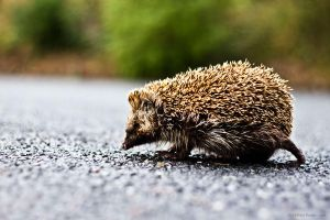 City Hedgehog?! by christelburger