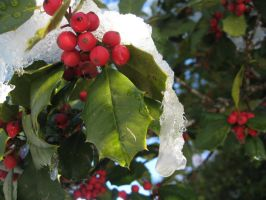 Holly berries with snow 2 by Reyphotos