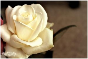 White Rose by Clerdy