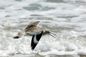 Willet by ruffian11