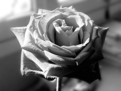 Black and White Rose by Soledad72