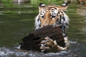 A tiger's toy by AF--Photography