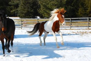 Pinto Horse 21 by ErikaChristine