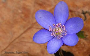 Anemone hepatica.(Spring in Hungary) by magyarilaszlo